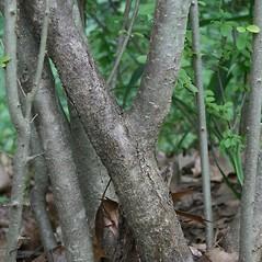 Bark: Ligustrum obtusifolium. ~ By Arieh Tal. ~ Copyright © 2020 Arieh Tal. ~ http://botphoto.com/ ~ Arieh Tal - botphoto.com