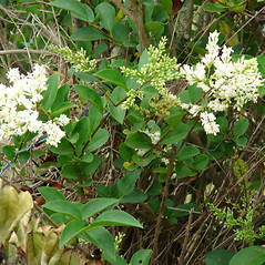 Flowers: Ligustrum ovalifolium. ~ By Kim Starr. ~ Copyright © 2020 CC BY 3.0. ~ starrimages[at]hear.org ~ Plants of Hawaii - www.hear.org/starr/images/?o=plants