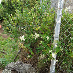 Plant form: Ligustrum ovalifolium. ~ By Kim Starr. ~ Copyright © 2020 CC BY 3.0. ~ starrimages[at]hear.org ~ Plants of Hawaii - www.hear.org/starr/images/?o=plants