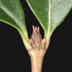 Winter buds: Ligustrum ovalifolium. ~ By Robert Vid_ki. ~ Copyright © 2020 CC BY-NC 3.0. ~  ~ Bugwood - www.bugwood.org/