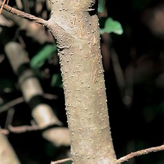 Bark: Ligustrum sinense. ~ By James Miller. ~ Copyright © 2018 CC BY-NC 3.0. ~  ~ Bugwood - www.bugwood.org/