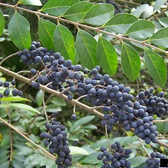 Fruits: Ligustrum sinense. ~ By Karan Rawlins. ~ Copyright © 2018 CC BY-NC 3.0. ~  ~ Bugwood - www.bugwood.org/