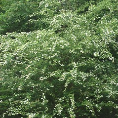 Plant form: Ligustrum sinense. ~ By Chris Evans. ~ Copyright © 2018 CC BY-NC 3.0. ~  ~ Bugwood - www.bugwood.org/