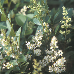 Flowers: Ligustrum vulgare. ~ By Catherine Heffron. ~ Copyright © 2018 New England Wild Flower Society. ~ Image Request, images[at]newenglandwild.org