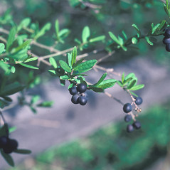 Fruits: Ligustrum vulgare. ~ By Jean Baxter. ~ Copyright © 2018 New England Wild Flower Society. ~ Image Request, images[at]newenglandwild.org