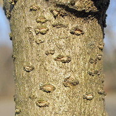 Bark: Syringa josikaea. ~ By Bruce Patterson. ~ Copyright © 2019 Bruce Patterson. ~ foxpatterson[at]comcast.net