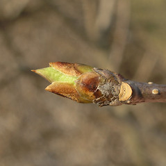 Winter buds: Syringa josikaea. ~ By Bruce Patterson. ~ Copyright © 2020 Bruce Patterson. ~ foxpatterson[at]comcast.net
