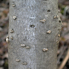 Bark: Syringa villosa. ~ By Bruce Patterson. ~ Copyright © 2018 Bruce Patterson. ~ foxpatterson[at]comcast.net