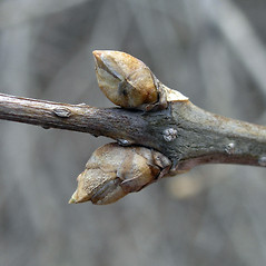 Winter buds: Syringa villosa. ~ By Bruce Patterson. ~ Copyright © 2020 Bruce Patterson. ~ foxpatterson[at]comcast.net