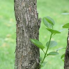 Bark: Syringa vulgaris. ~ By Arieh Tal. ~ Copyright © 2019 Arieh Tal. ~ http://botphoto.com/ ~ Arieh Tal - botphoto.com