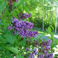 Flowers: Syringa vulgaris. ~ By Arthur Haines. ~ Copyright © 2019. ~ arthurhaines[at]wildblue.net