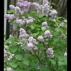 Plant form: Syringa vulgaris. ~ By Arieh Tal. ~ Copyright © 2019 Arieh Tal. ~ http://botphoto.com/ ~ Arieh Tal - botphoto.com