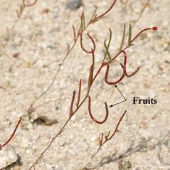 Fruits: Camissonia campestris. ~ By Keir Morse. ~ Copyright © 2019 Keir Morse. ~ www.keiriosity.com ~ CalPhotos - calphotos.berkeley.edu/flora/