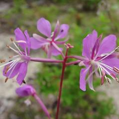 Flowers: Chamerion angustifolium. ~ By Glen Mittelhauser. ~ Copyright © 2017 Glen Mittelhauser. ~ www.mainenaturalhistory.org