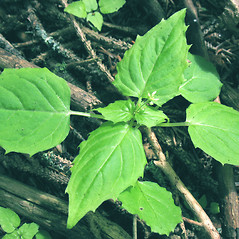 Leaves: Circaea alpina. ~ By Marilee Lovit. ~ Copyright © 2020 Marilee Lovit. ~ lovitm[at]gmail.com