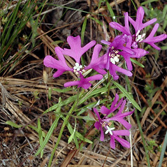 Plant form: Clarkia pulchella. ~ By Gerry Carr. ~ Copyright © 2017 Gerry Carr. ~ gdcarr[at]comcast.net ~ Oregon Flora Image Project - www.botany.hawaii.edu/faculty/carr/ofp/ofp_index.htm