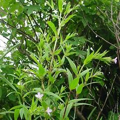 Plant form: Epilobium ciliatum. ~ By Glen Mittelhauser. ~ Copyright © 2017 Glen Mittelhauser. ~ www.mainenaturalhistory.org