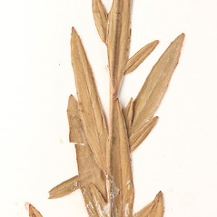 Leaves: Epilobium strictum. ~ By University of Massachusetts Herbarium (MASS). ~ Copyright © 2017 University of Massachusetts Herbarium. ~ University of Massachusetts Herbarium ~ U. of Massachusetts Herbarium