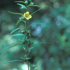 Flowers: Ludwigia alternifolia. ~ By Lawrence Newcomb. ~ Copyright © 2020 New England Wild Flower Society. ~ Image Request, images[at]newenglandwild.org