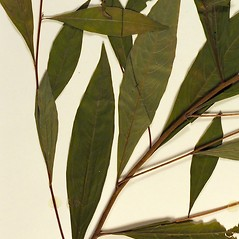 Leaves: Ludwigia alternifolia. ~ By Florida State University Godfrey Herbarium. ~ Copyright © 2017 CC BY-NC-SA 3.0. ~  ~ Morphbank - Biological Imaging - www.morphbank.net