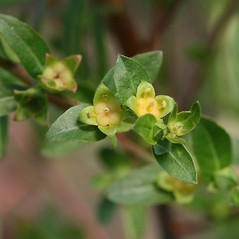 Flowers: Ludwigia sphaerocarpa. ~ By Arieh Tal. ~ Copyright © 2018 Arieh Tal. ~ http://botphoto.com/ ~ Arieh Tal - botphoto.com