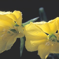 Flowers: Oenothera biennis. ~ By Albert Bussewitz. ~ Copyright © 2018 New England Wild Flower Society. ~ Image Request, images[at]newenglandwild.org