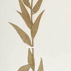 Leaves: Oenothera curtiflora. ~ By William and Linda Steere and the C.V. Starr Virtual Herbarium. ~ Copyright © 2019 William and Linda Steere and the C.V. Starr Virtual Herbarium. ~ Barbara Thiers, Director; bthiers[at]nybg.org ~ C.V. Starr Herbarium - NY Botanical Gardens