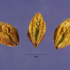Additional features: Oenothera gaura. ~ By Jose Hernandez. ~  Public Domain. ~  ~ USDA-NRCS Plants Database - plants.usda.gov/java/