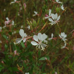 Plant form: Oenothera gaura. ~ By Arthur Haines. ~ Copyright © 2020. ~ arthurhaines[at]wildblue.net