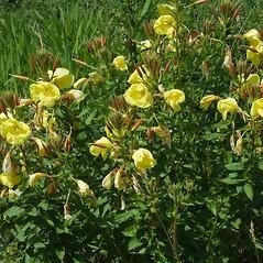 Plant form: Oenothera glazioviana. ~ By Ben Legler. ~ Copyright © 2017 Ben Legler. ~ mountainmarmot[at]hotmail.com ~ U. of Washington - WTU - Herbarium - biology.burke.washington.edu/herbarium/imagecollection.php