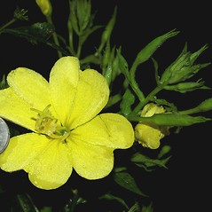 Flowers: Oenothera grandiflora. ~ By Fred Nation. ~ Copyright © 2019 Fred Nation. ~ Any use allowed without permission ~ Alabama Plant Atlas