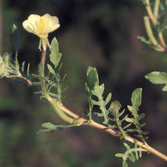 Leaves: Oenothera laciniata. ~ By Lawrence Newcomb. ~ Copyright © 2018 New England Wild Flower Society. ~ Image Request, images[at]newenglandwild.org