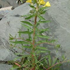 Plant form: Oenothera oakesiana. ~ By Louis-M. Landry. ~ Copyright © 2020 Louis-M. Landry. ~ LM.Landry[at]videotron.ca  ~ CalPhotos - calphotos.berkeley.edu/flora/