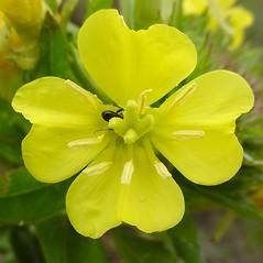 Flowers: Oenothera parviflora. ~ By Glen Mittelhauser. ~ Copyright © 2017 Glen Mittelhauser. ~ www.mainenaturalhistory.org