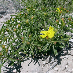 Plant form: Oenothera serrulata. ~ By Keir Morse. ~ Copyright © 2018 Keir Morse. ~ www.keiriosity.com ~ www.keiriosity.com