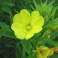 Flowers: Oenothera villosa. ~ By Glen Mittelhauser. ~ Copyright © 2019 Glen Mittelhauser. ~ www.mainenaturalhistory.org