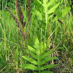Plant form: Onoclea sensibilis. ~ By Donna Kausen. ~ Copyright © 2017 Donna Kausen. ~ 33 Bears Den, Addison, ME 04606