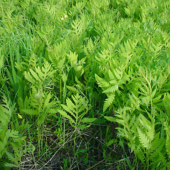 Plant form: Onoclea sensibilis. ~ By Glen Mittelhauser. ~ Copyright © 2019 Glen Mittelhauser. ~ www.mainenaturalhistory.org