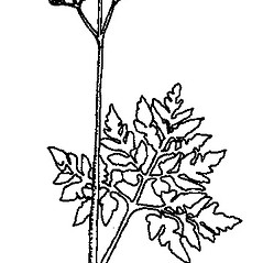 Plant form: Botrychium dissectum. ~ By Arthur Haines. ~ Copyright © 2019. ~ arthurhaines[at]wildblue.net