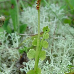 Plant form: Botrychium minganense. ~ By Arthur Haines. ~ Copyright © 2020. ~ arthurhaines[at]wildblue.net