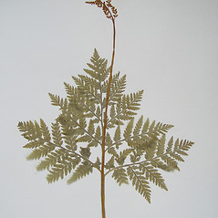 Plant form: Botrychium virginianum. ~ By Arthur Haines. ~ Copyright © 2020. ~ arthurhaines[at]wildblue.net