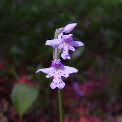 Flowers: Amerorchis rotundifolia. ~ By Arthur Haines. ~ Copyright © 2019. ~ arthurhaines[at]wildblue.net