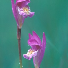 Flowers: Arethusa bulbosa. ~ By Dorothy Long. ~ Copyright © 2017 New England Wild Flower Society. ~ Image Request, images[at]newenglandwild.org