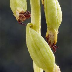Fruits: Corallorhiza trifida. ~ By Amadej Trnkoczy. ~ Copyright © 2019 Amadej Trnkoczy. ~ amadej.trnkoczy[at]siol.net ~ CalPhotos - calphotos.berkeley.edu/flora/