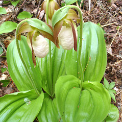 Plant form: Cypripedium acaule. ~ By Jill Weber. ~ Copyright © 2017 Jill Weber. ~ jillweber03[at]gmail.com