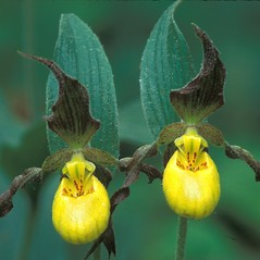 Flowers: Cypripedium parviflorum. ~ By Hal Horwitz. ~ Copyright © 2017 New England Wild Flower Society. ~ Image Request, images[at]newenglandwild.org