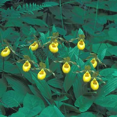 Plant form: Cypripedium parviflorum. ~ By Dorothy Long. ~ Copyright © 2020 New England Wild Flower Society. ~ Image Request, images[at]newenglandwild.org