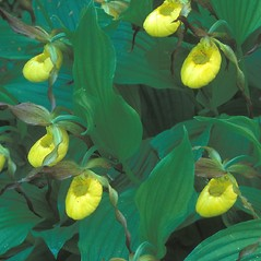 Plant form: Cypripedium parviflorum. ~ By Hal Horwitz. ~ Copyright © 2020 New England Wild Flower Society. ~ Image Request, images[at]newenglandwild.org