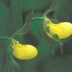 Inflorescences: Cypripedium parviflorum. ~ By Hal Horwitz. ~ Copyright © 2020 New England Wild Flower Society. ~ Image Request, images[at]newenglandwild.org
