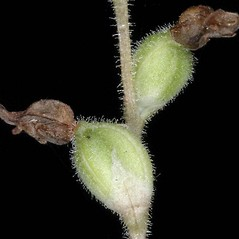 Fruits: Goodyera oblongifolia. ~ By Gerry Carr. ~ Copyright © 2019 Gerry Carr. ~ gdcarr[at]comcast.net ~ U. of Washington - WTU - Herbarium - biology.burke.washington.edu/herbarium/imagecollection.php